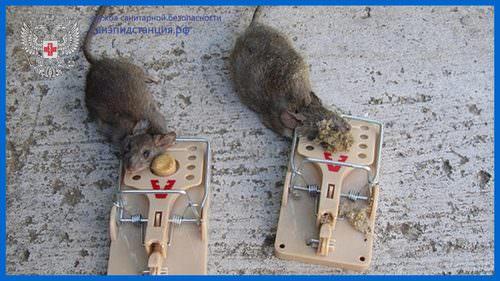 krysa v lovushke