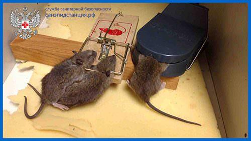 krysa v lovushke5
