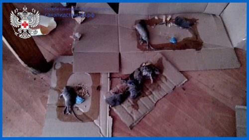 krysa v lovushke6